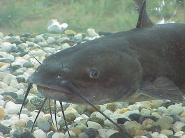 catfish, catfish fishing, fishing, freshwater