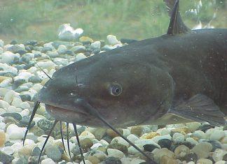 catfish, catfish fishing, fishing, freshwater