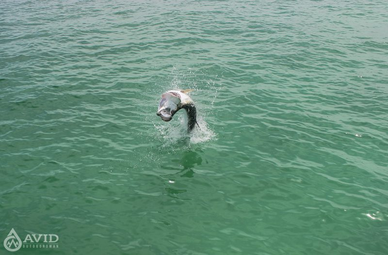 fishing, tarpon, saltwater, fish