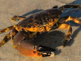 stone crab claws. stone crab harvest, florica